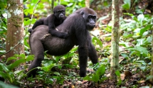Gorilla Trekking Rwanda, Uganda